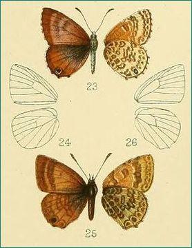 Image of <i>Harpendyreus reginaldi</i> Heron 1909