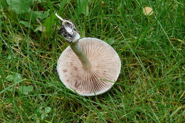 Image of <i>Stropharia caerulea</i> Kreisel 1979