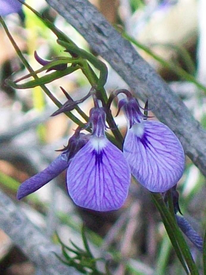 Image of Hybanthus vernonii