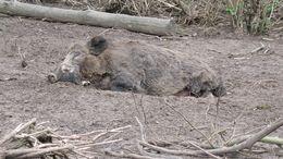 Image of pig