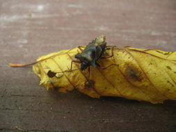 Image of <i>Pentatoma rufipes</i>