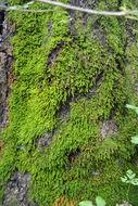Image of bryum moss