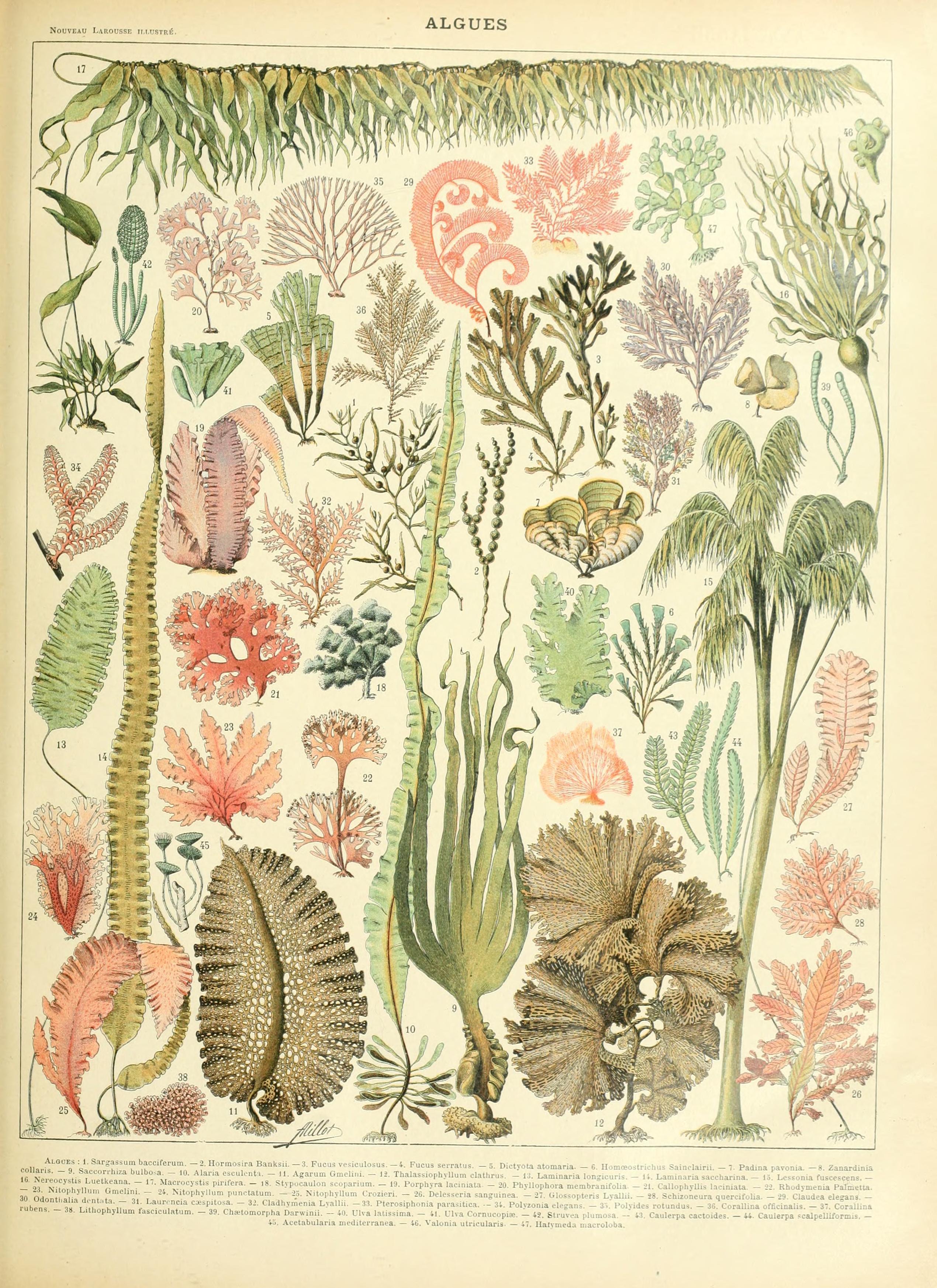 Image of <i>Saccorhiza polyschides</i>