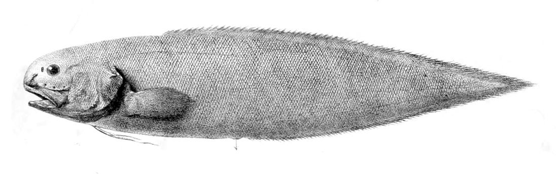 Image of Giant Cusk-eel
