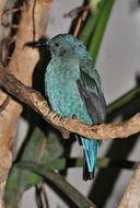 Image of Asian Fairy-bluebird