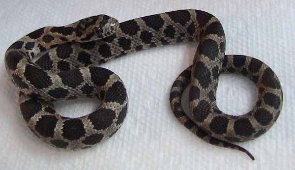 Image of Pantherophis gloydi