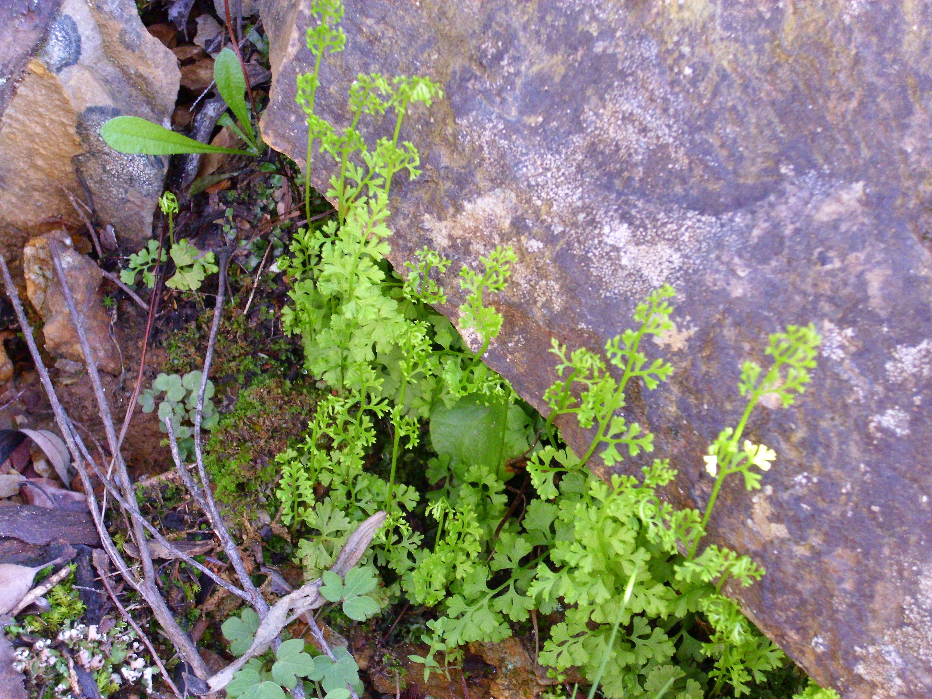Image of <i>Anogramma leptophylla</i> (L.) Link