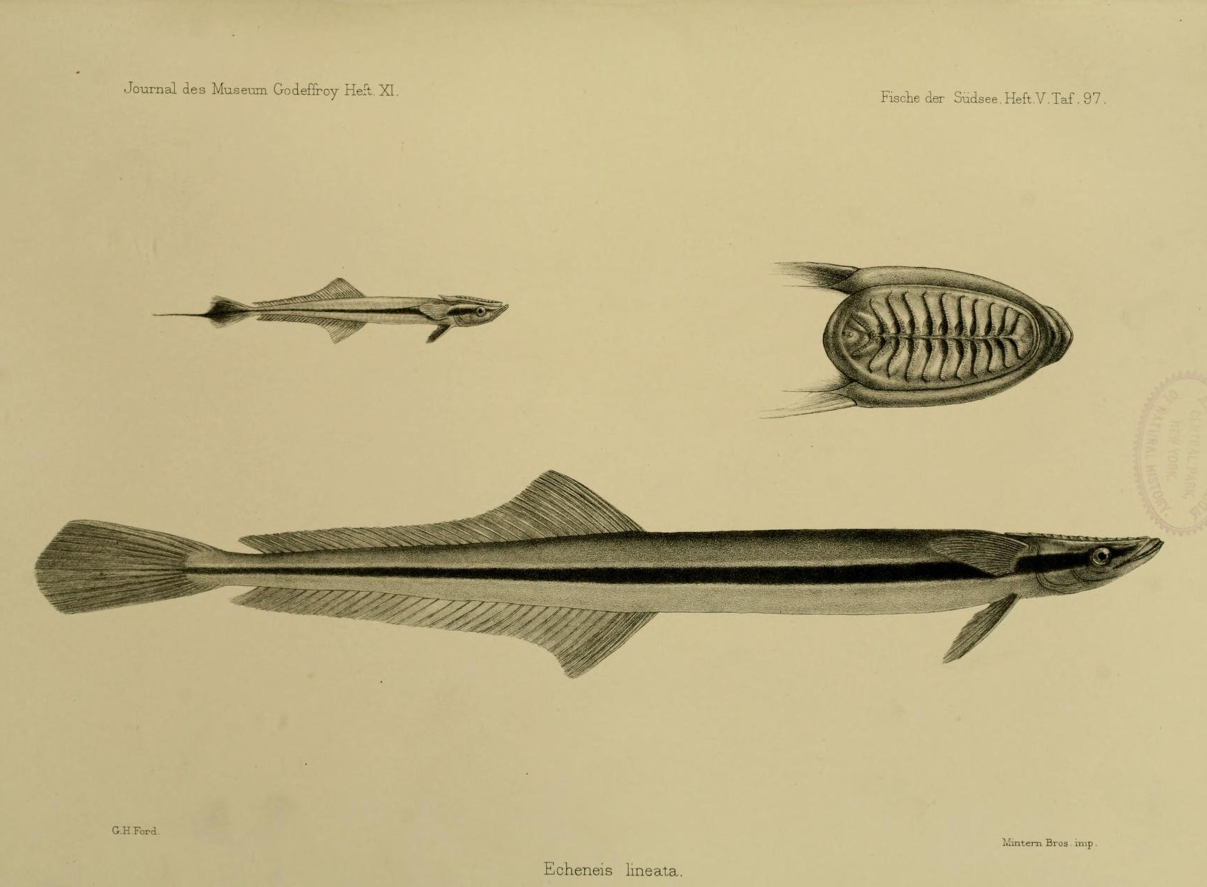 Image of Louse Fish