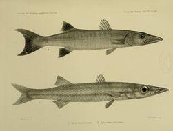 Image of Obtuse barracuda