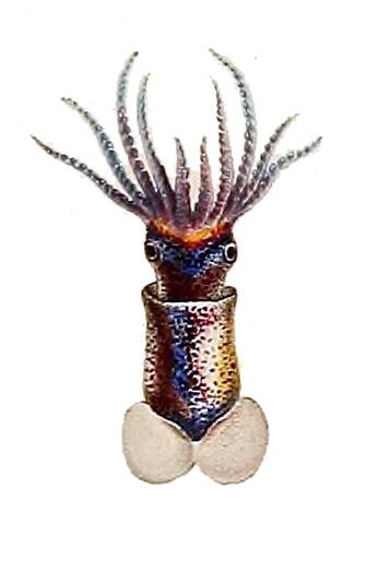 Image of <i>Onykia carriboea</i> Lesueur 1821