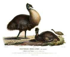 Image of cassowary