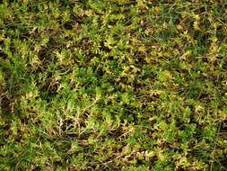 Image of black saltwort