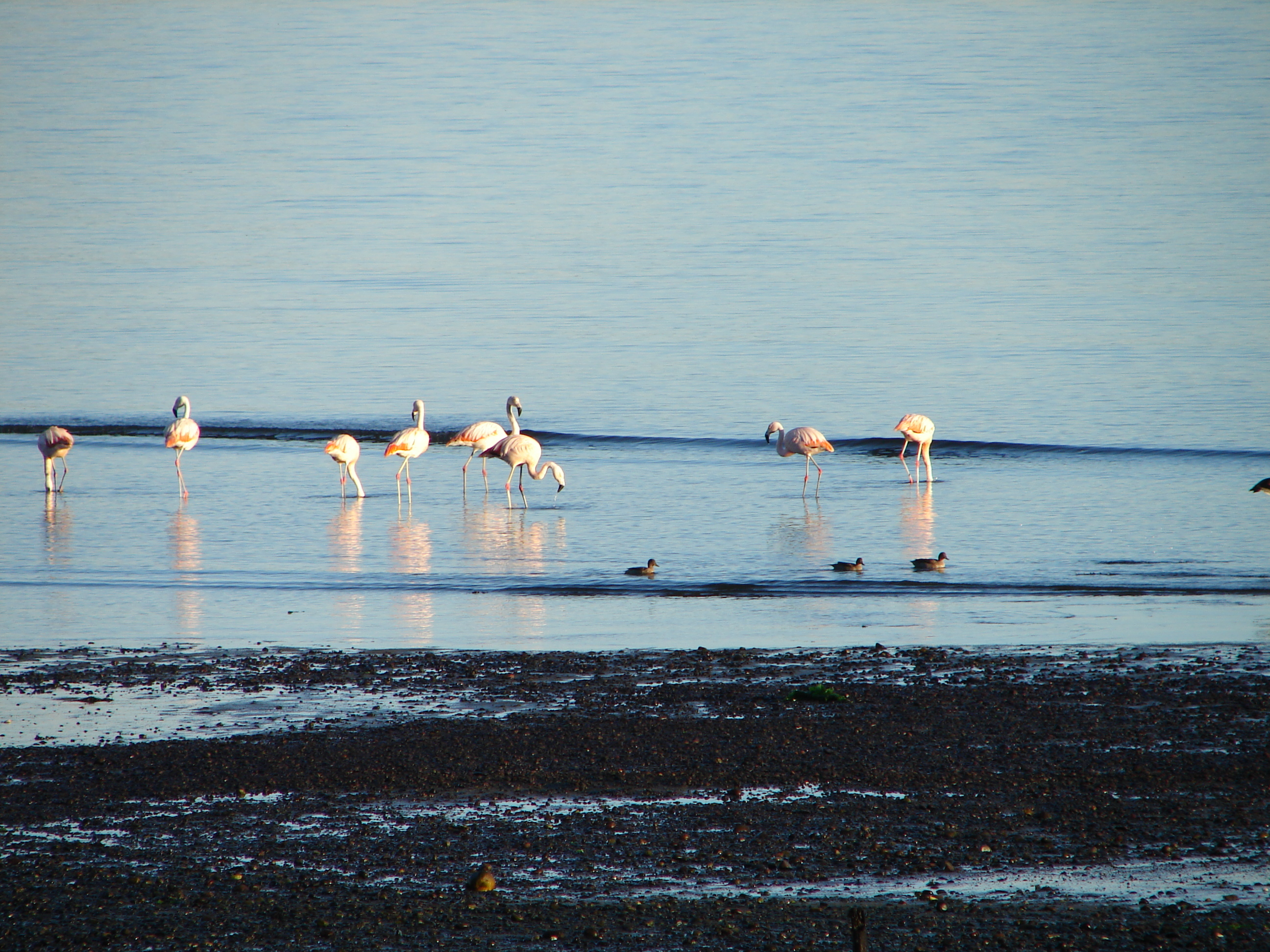 Image of Chilean Flamingo
