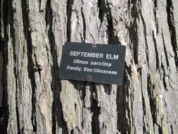 Image of September elm