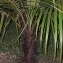 Image of Barbel palm