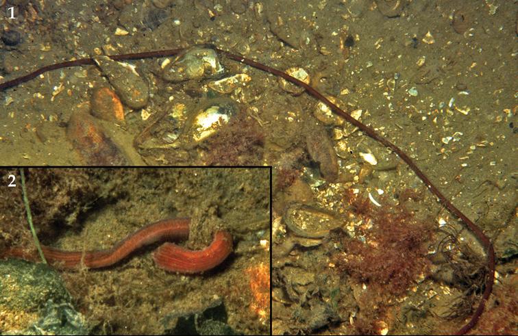 Image of <i>Lineus longissimus</i>