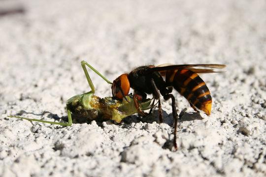 Image of Asian giant hornet