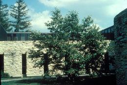Image of Chinese chestnut