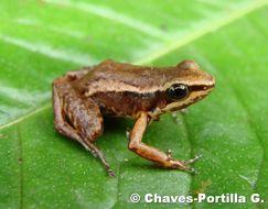 Image of Cream-backed poison frog