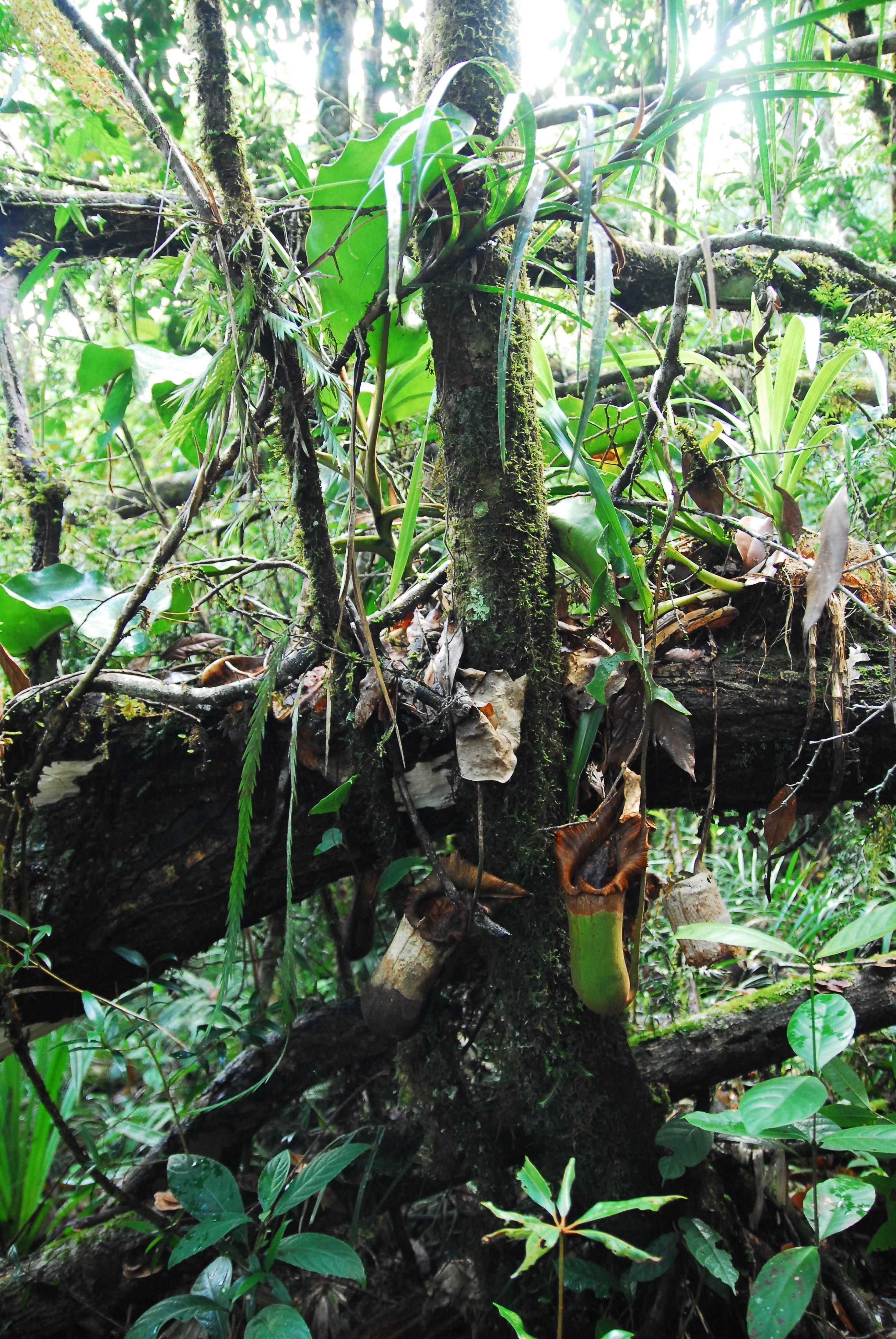 Image of <i>Nepenthes truncata</i>