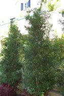 Image of Buddhist Pine