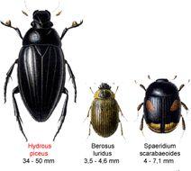 Image of <i>Hydrous piceus</i>