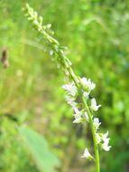 Image of White Sweet Clover