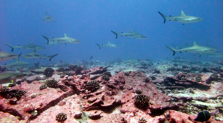 Image of Gray Reef Shark