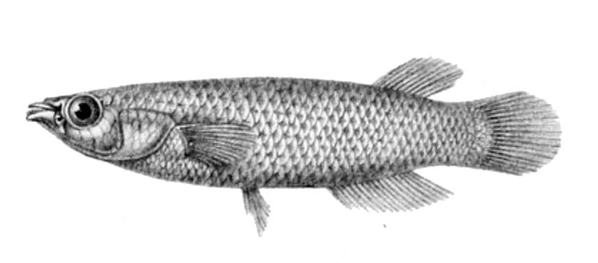 Image of Powder-blue panchax