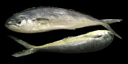 Image of Common Dolphin Fish
