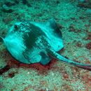 Image of whiptail stingrays