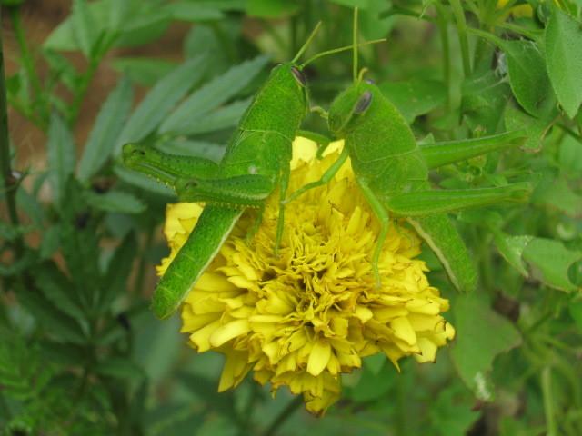 Image of Common green grasshopper