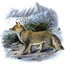 Image of Tibetan Fox