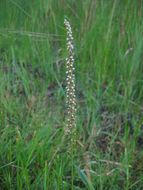 Image of Sea Arrowgrass