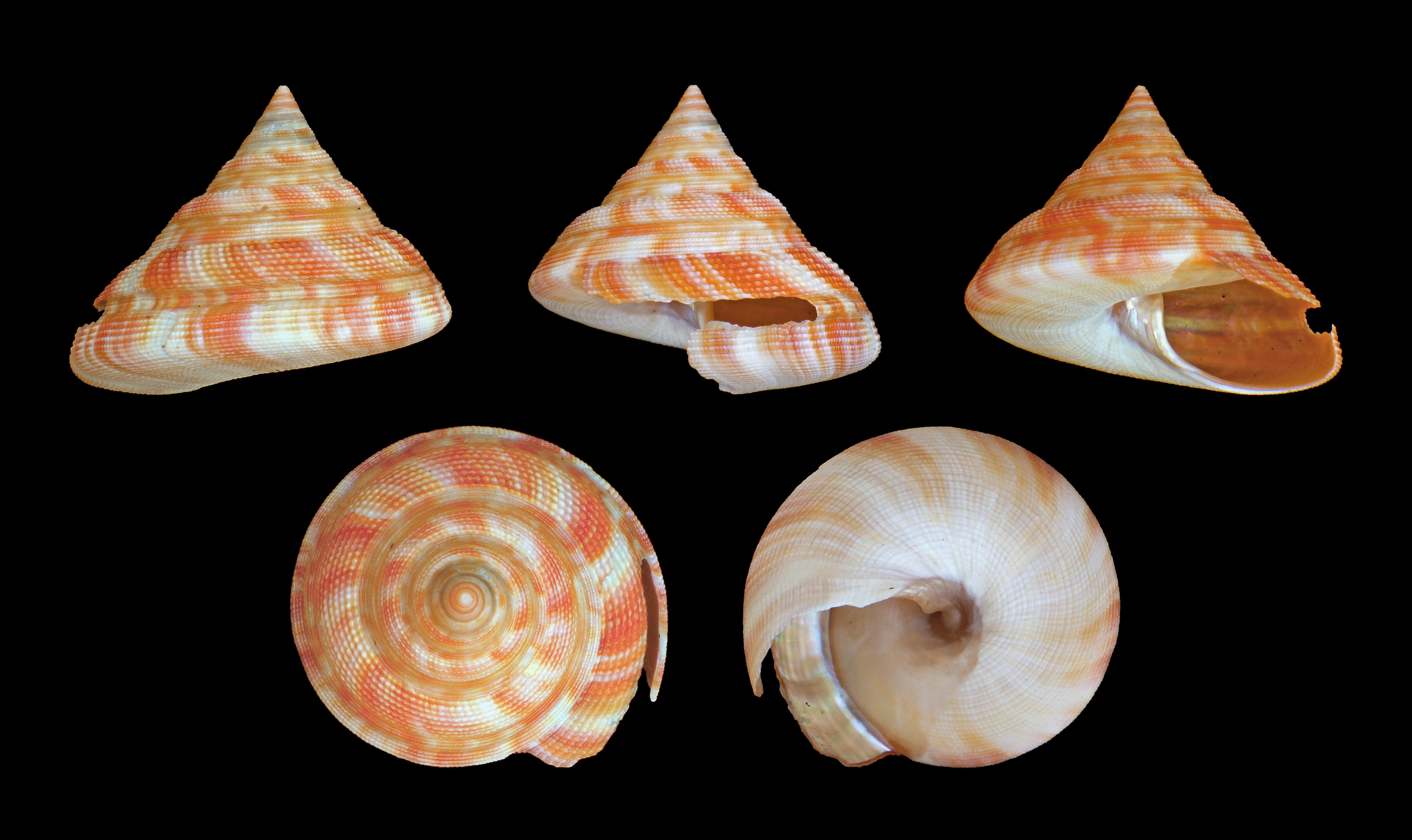 Image of <i>Mikadotrochus hirasei</i> (Pilsbry 1903)