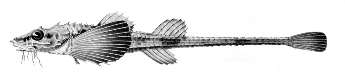 Image of Atlantic poacher