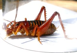Image of Parktown prawn