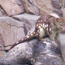 Image of Large Spotted Native Cat