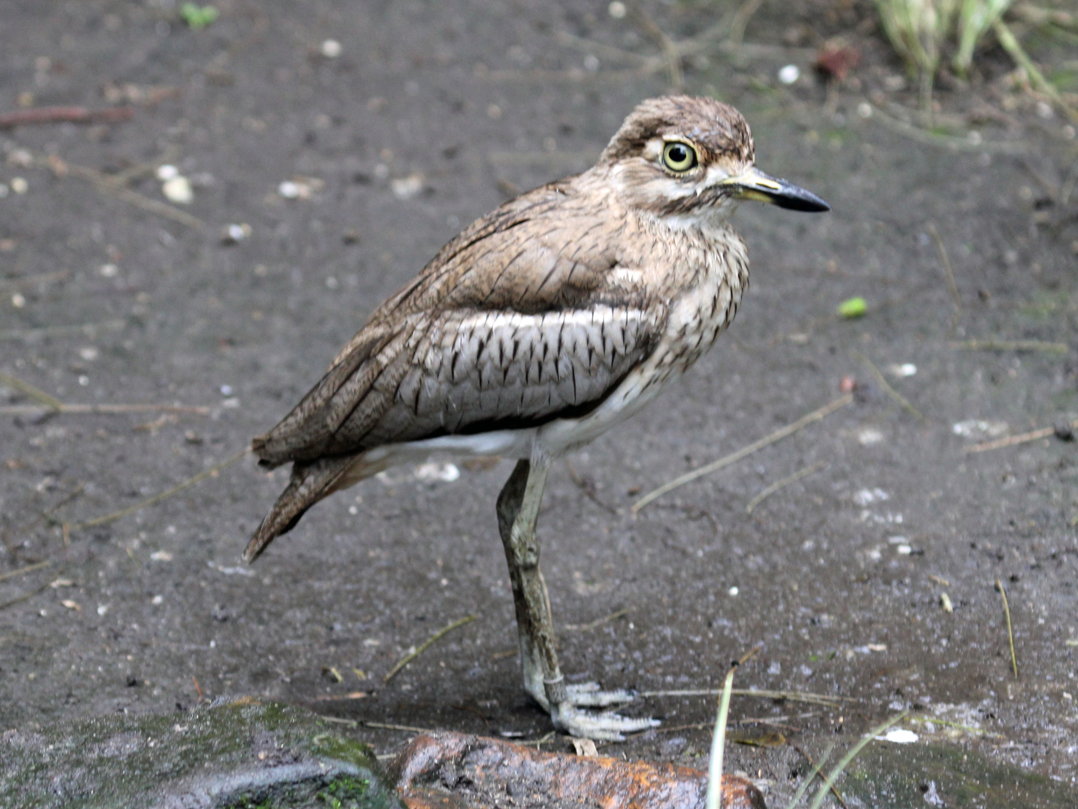 Image of Water Thick-knee