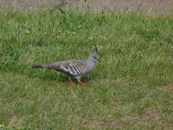 Image of Crested Pigeon