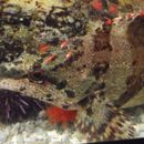 Image of Painted greenling