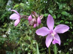Image of Philippine ground orchid