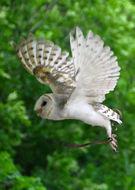 Image of Australian Masked Owl