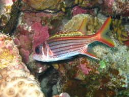 Image of Red Striped Squirrelfish