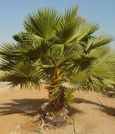 Image of Talipot palm