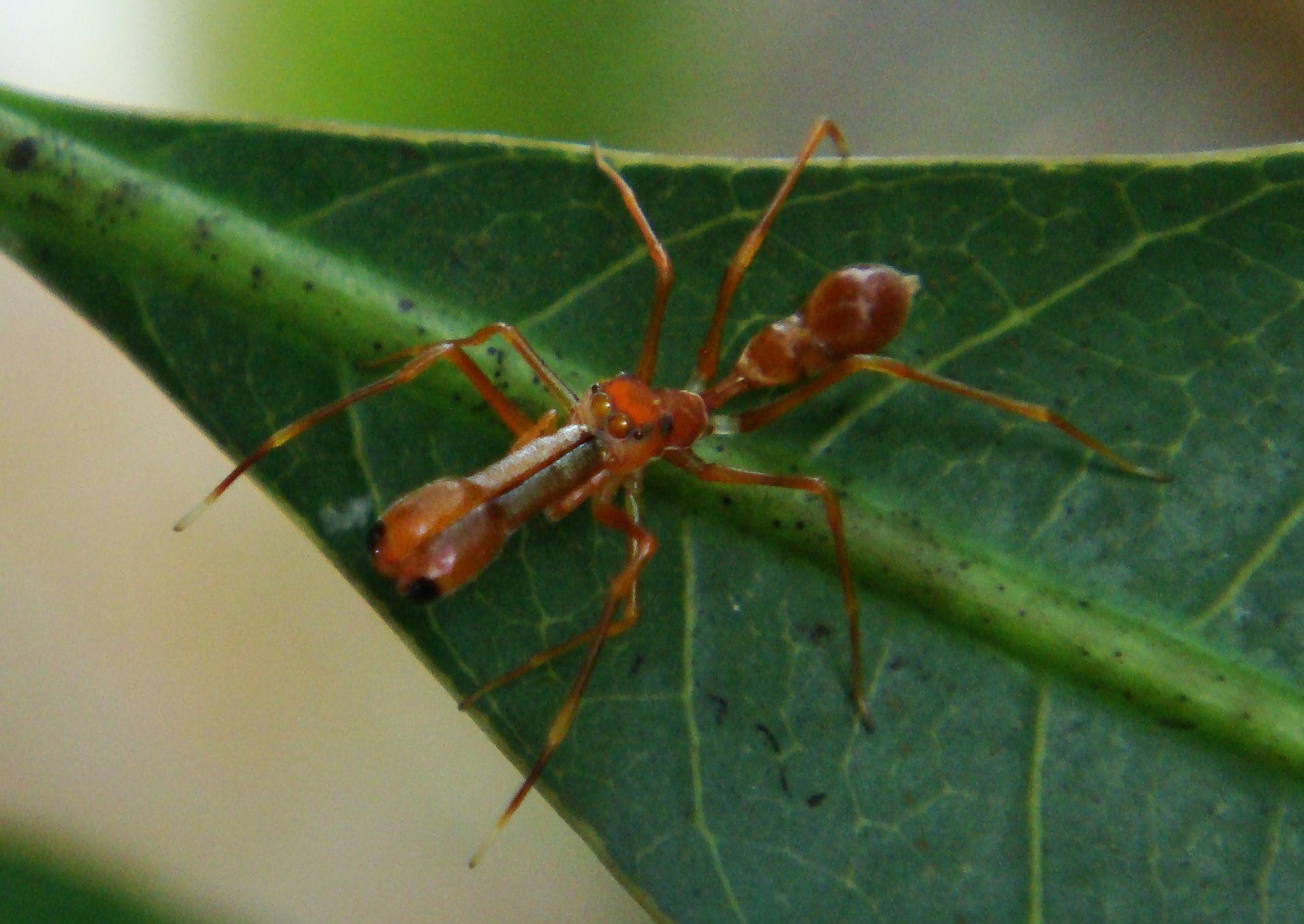Image of <i>Myrmarachne plataleoides</i>