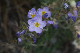 Image of northern Jacob's-ladder