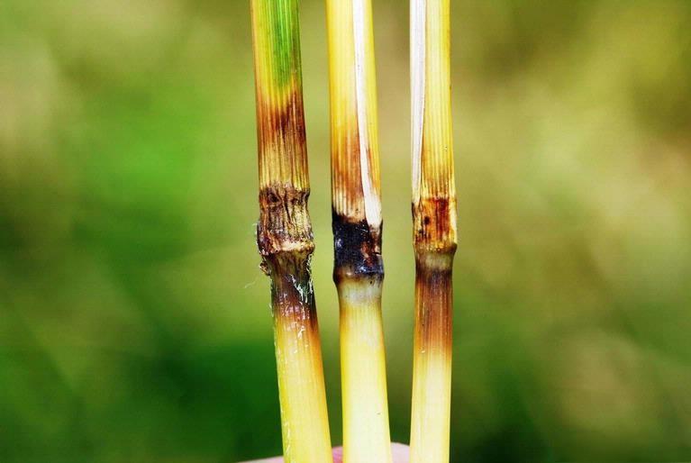 Image of rice blast fungus