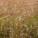 Image of Hairgrass