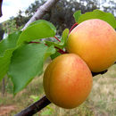 Image of apricot